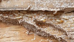macro white ants or termites on decomposing wood. As an enemy of wooden houses as well.