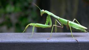 4K Close-up van een groene bidsprinkhaan Het insect loopt stock footage