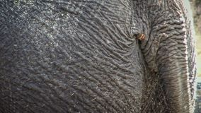 4K, closeup of an elephant swinging his tail. Close up of asiatic elephant stock video footage