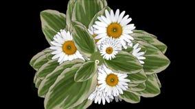 4k Clover bloom daisy flower plant vegetation leaf blade background. 6820_4k stock video footage