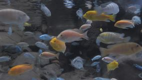 Colorful aquarium, showing different fishes swimming. Beautiful background of the underwater world. stock video