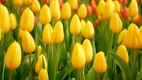 4K. colorful of tulip flowers field in spring season, yellow tulip.  stock video footage