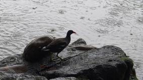4k Common moorhen is fishing and eating a fish over rock in a lake with rain stock footage