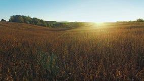 4K compilatievideo Vlucht en start boven rijpe cornfield bij zonnige dag, luchtpanorama stock videobeelden