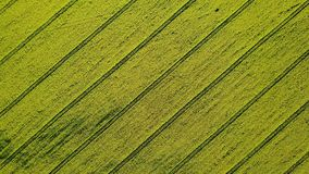 4K Compilation Video. Takeoff above blooming yellow rapeseed field at sunny day, aerial top rotation view. stock video