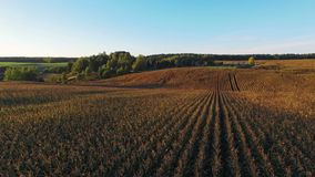 4K Compilation View. Flight and takeoff above corn field at golden sunset, aerial panoramic view stock video