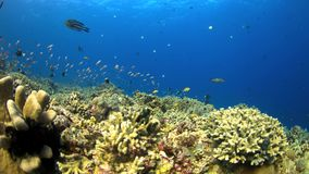 4k Coral reef with plenty fish. Colorful coral reef with plenty fish. 4k footage stock video