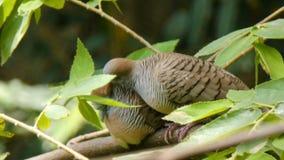 4K couple bird dove on the natural tree.  stock video