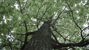 4k Crohn δρύινο δέντρο πράσινο με την κατώτατη άποψη διαρροών απόθεμα βίντεο