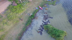 4K Crowd of Water buffalo wading and cooling down in the river or pond, Thailand, top and bird eyes view, High quality in 4K backg stock video