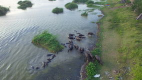 4K Crowd of Water buffalo wading and cooling down in the river or pond, Thailand, top and bird eyes view, High quality in 4K backg stock video footage
