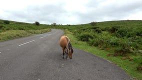 4K: Dartmoor-Pony, das auf der Seite steht stock video footage