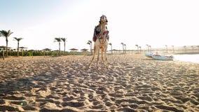 4k, das Video der schönen weißen Kamelstellung auf dem Seestrand bei Ägypten verschiebt Traditionelle Unterhaltung auf Strand für stock video