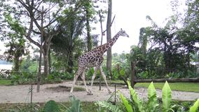 4k, de giraf die in de dierentuin (Giraffa-camelopardalis) lopen stock footage