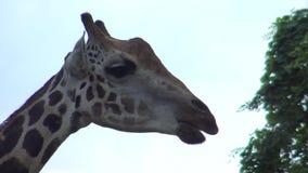 4k, de giraf die in de dierentuin (Giraffa-camelopardalis) lopen stock videobeelden
