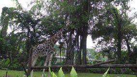 4k, de giraf die in de dierentuin lopen (Giraffa-camelopardalis) stock videobeelden
