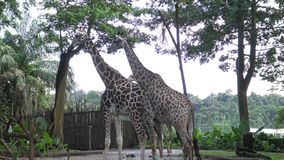 4k, de giraf die in de dierentuin lopen (Giraffa-camelopardalis) stock video