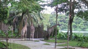4k, de giraf die het boomvoedsel in de dierentuin eten (Giraffa-camelopardalis) stock videobeelden