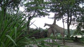 4k, de giraf die het boomvoedsel in de dierentuin (Giraffa-camelopardalis) eten stock videobeelden