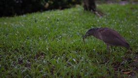 4K de la garza de noche malaya que caza una lombriz de tierra para comer en parque un día que llueve almacen de video