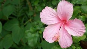4K de los hibiscos rosados Rosa-sinensis en parque con la planta verde de las hojas en el fondo con el viento apacible metrajes