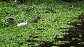 4K, de pássaros dos adultos Nycticorax e Egretta branco Garzetta na água do lago vídeos de arquivo