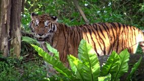 4K, de tijger die van Bengalen in het bos tussen bomen lopen Panthera Tigris Tigris stock video