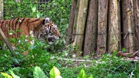 4K, de tijger die van Bengalen in het bos tussen bomen lopen Panthera Tigris Tigris stock footage