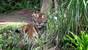 4K, de tijger die van Bengalen op gras in bos tussen bomen in het aardwild liggen stock footage