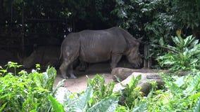 4K, de witte rinoceros of vierkant-lipped rinoceros (Ceratotherium-simum) stock videobeelden