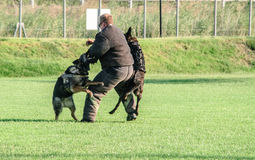 K9 dogs training. Us navy seaman and dog training of kilo 9 unit during the National Night Out 2013 in Sigonella Royalty Free Stock Photography