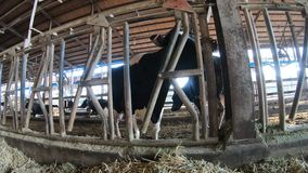 4K dojnej krowy nowożytny gospodarstwo rolne Rolniczy przemysł, uprawiać ziemię i zwierzęcy husbandry, zbiory