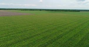 4K Drone Aerial Flying Over Farm Corn Rows Backward stock video