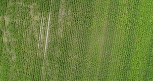 4K Drone Aerial Over Farm Corn Rows Rotates stock video