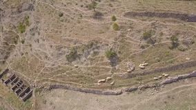 4k drone aerial of sheep grazing and herding on mountain slope with stone wall stock video footage