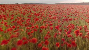 4K drone footage of flight over red field of poppies. In Ukraine on sunset stock video