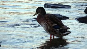 4K. Duck on the shore of a river. There are stones and ripples in the water. stock video footage