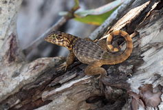 Kędzierzawa Ogoniasta jaszczurka Fotografia Stock