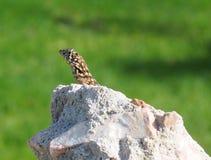 Kędzierzawa Ogoniasta jaszczurka Fotografia Royalty Free