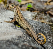 Kędzierzawa ogoniasta jaszczurka na skale zdjęcia stock
