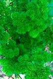 kędzierzawa ogrodowa pietruszka Zdjęcia Royalty Free
