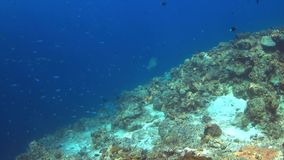 4k Edge of a coral reef with plenty fish stock video