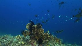 4k Edge of a coral reef with plenty fish stock video footage
