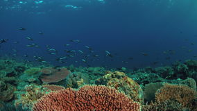 4k Edge of a coral reef with plenty fish. Edge of a coral reef with a school of fusiliers. 4k footage stock footage