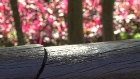 4K een Tessaratoma-papillosa die over het hout in het park van de stad van Taipeh loopt stock footage