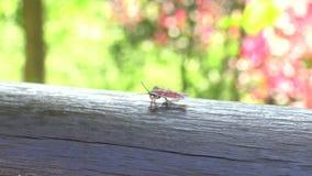 4K een Tessaratoma-papillosa die over het hout in het park van de stad van Taipeh lopen stock video