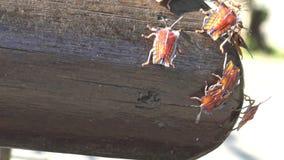 4K een Tessaratoma-papillosa die over het hout in het park van de stad van Taipeh lopen stock videobeelden