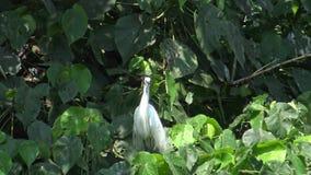4k, Egretta blanco Garzetta, poca garceta del pájaro tomar para cuidar la jerarquía en árbol metrajes