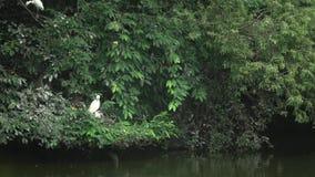 4k Egretta Garzetta tomar para cuidar la jerarquía y los polluelos en el árbol del lago almacen de video