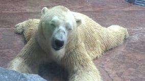 4k, Eisbär, der nach dem Mittagessen im Zoo stillsteht stock footage